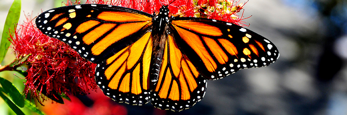 Monarch-Butterfly-A.jpg