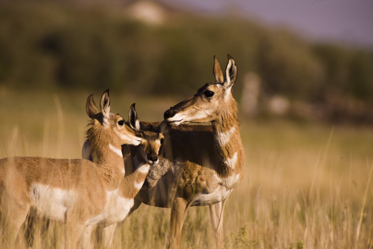 Pronghorn_with_young.jpg