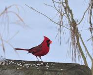 Cardinal State Bird of Virginia
