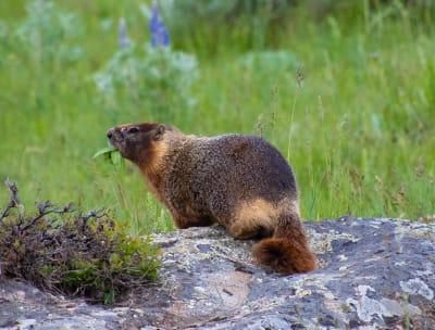 Happy, sweet grass county, big timber, montana, rock chuck, big sky country, summer, explore, nature