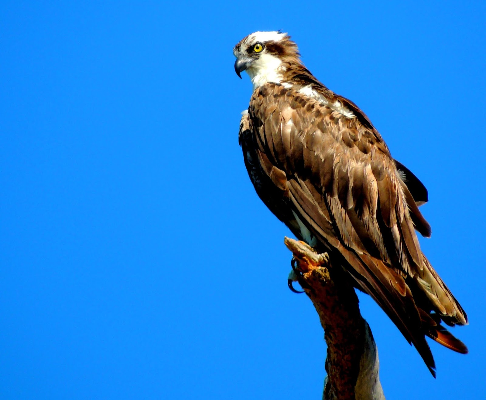 Darby-Carr-9-Osprey.-ever-vigilant.jpg