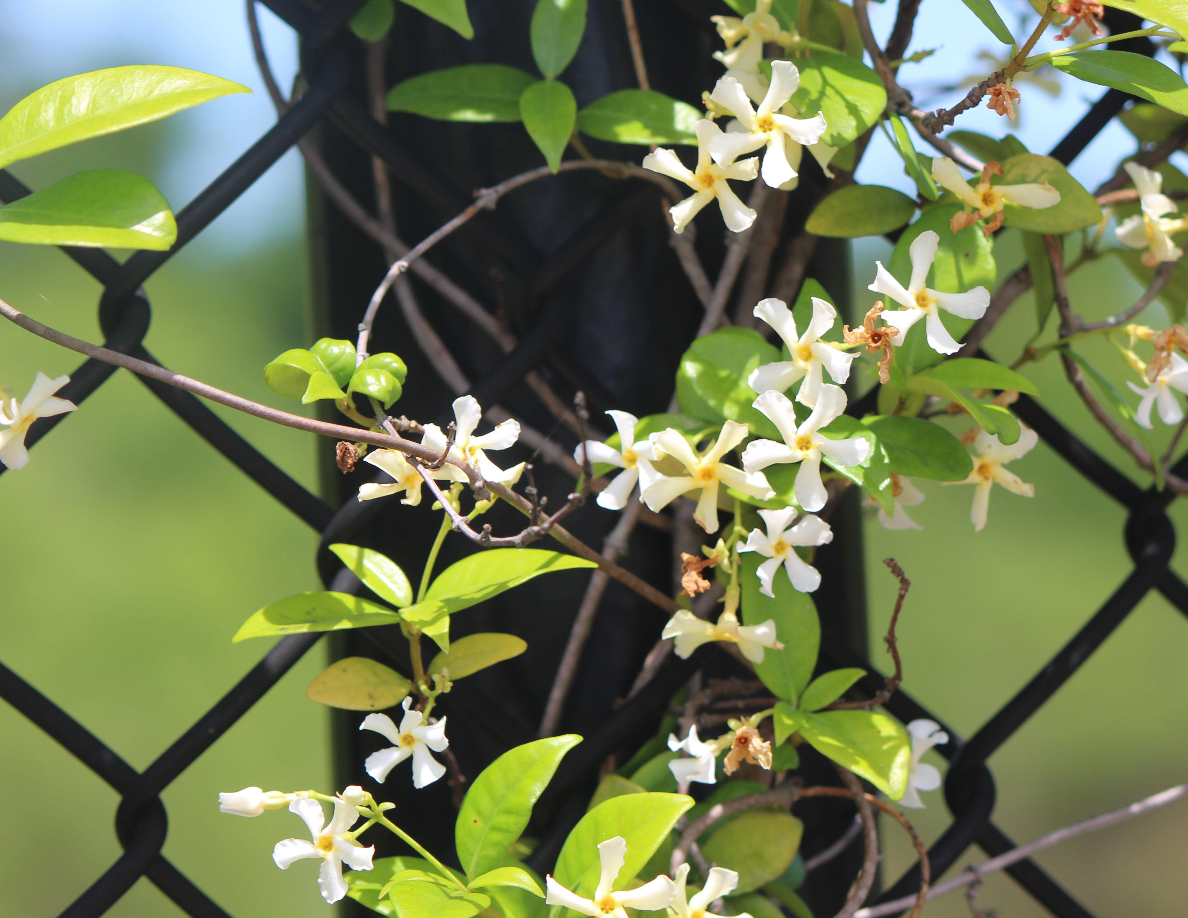 wild-jasmine-on-fence.jpg