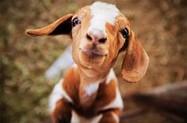 Fossil Creek Creamery Goats