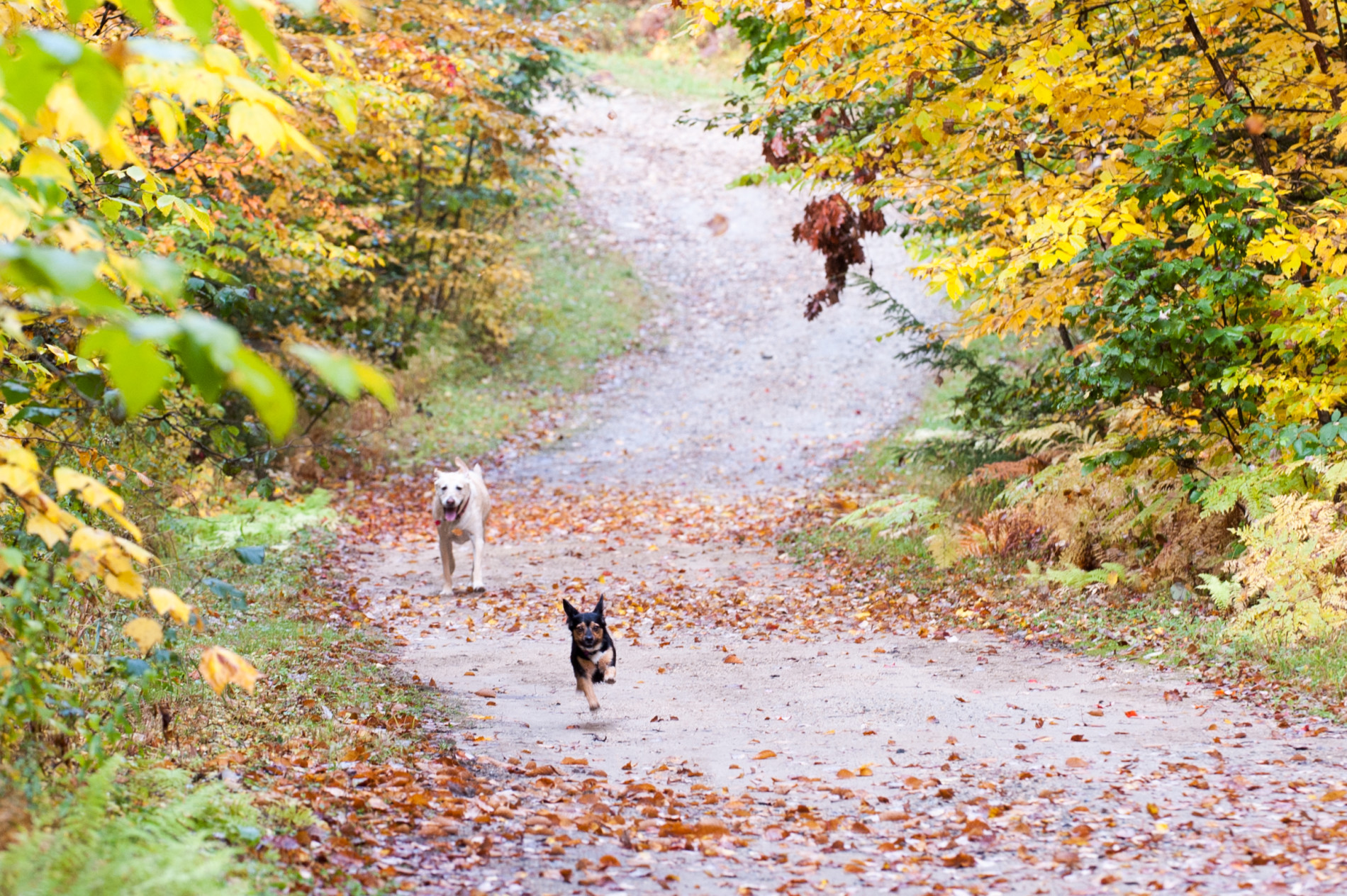 Carol-Savage-Photography---Fall-scene-dogs-running(98)-w1900.jpg