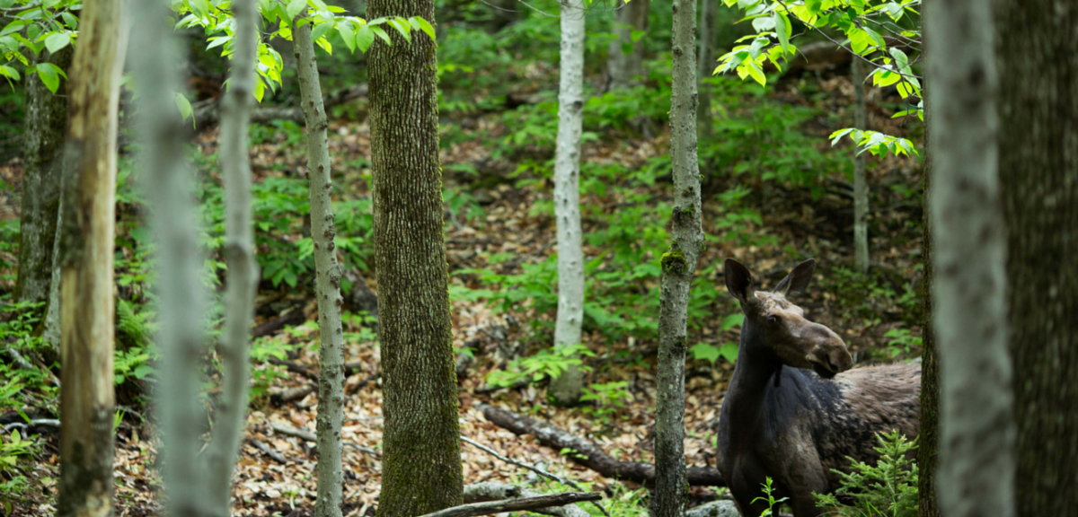 Moose_in_the_woods_-_Craig_Angevine_-_Yeah_Bud._Photography-w1200.png