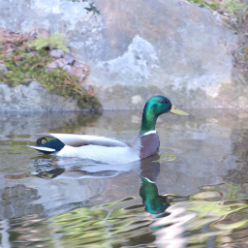 Carol_Savage_Photography_-_mallard_duck_fall_water_(133).jpg