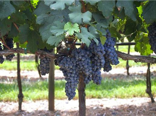 blackstock-20grape-20vines.jpg