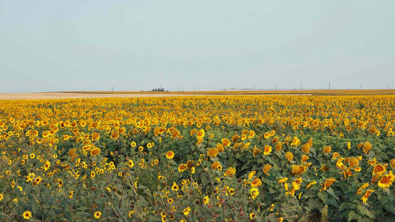 Sunflower_Field.jpg