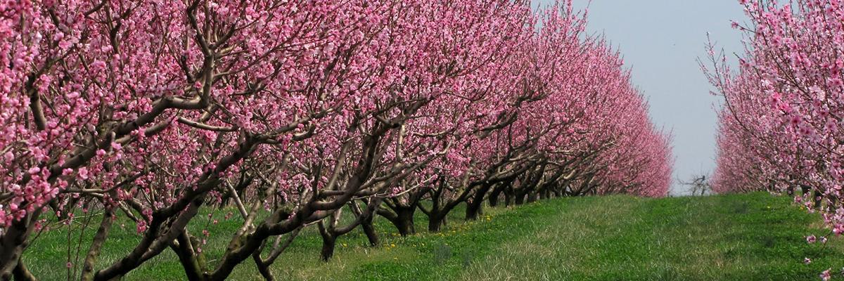 Peach-Blossoms.jpg