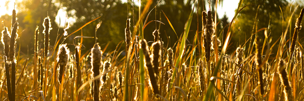 cattails-1-website.jpg