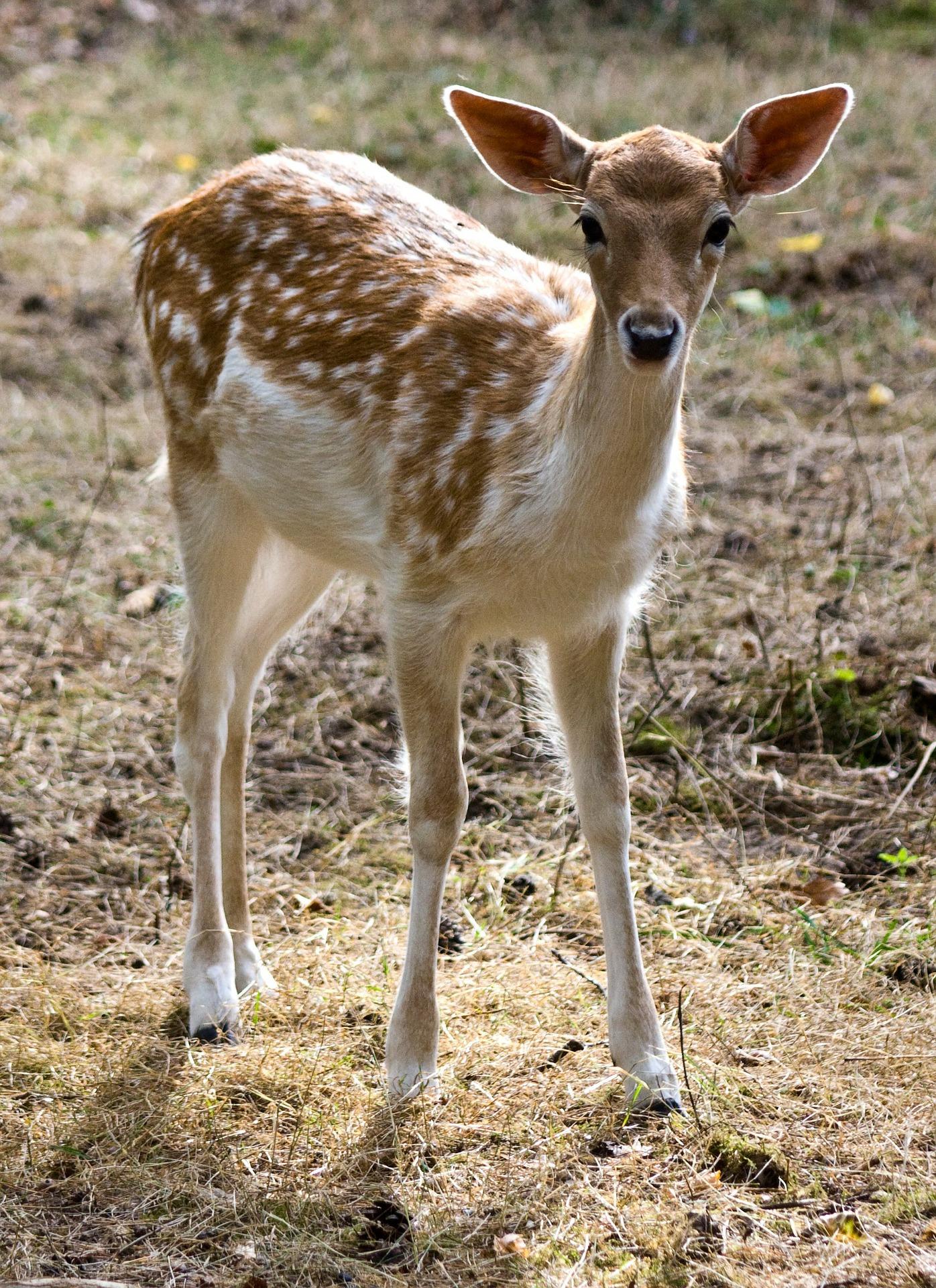 young-fallow-deer-262137_1920.jpg