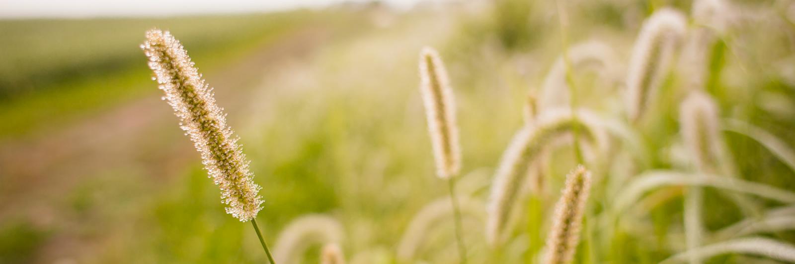 ttf-wheat.jpg