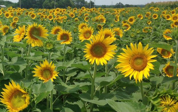 Sunflower-Field.jpg