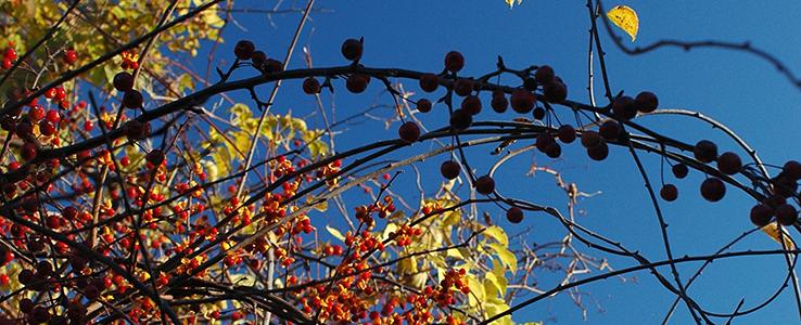 Fall-Berries.png