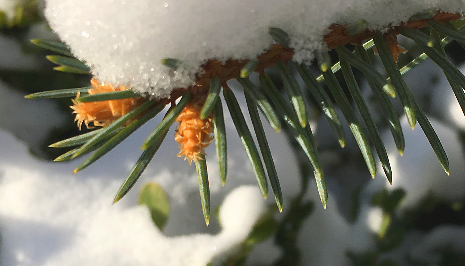 Snow-On-Pine.png