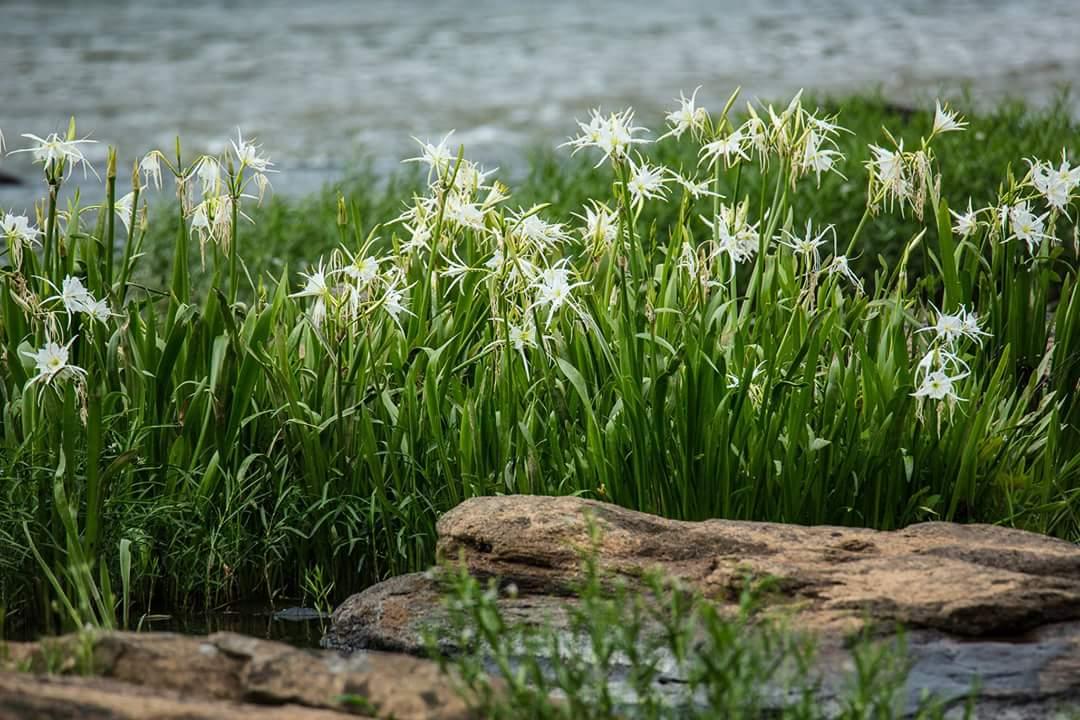 Lilies_on_the_flint.jpg