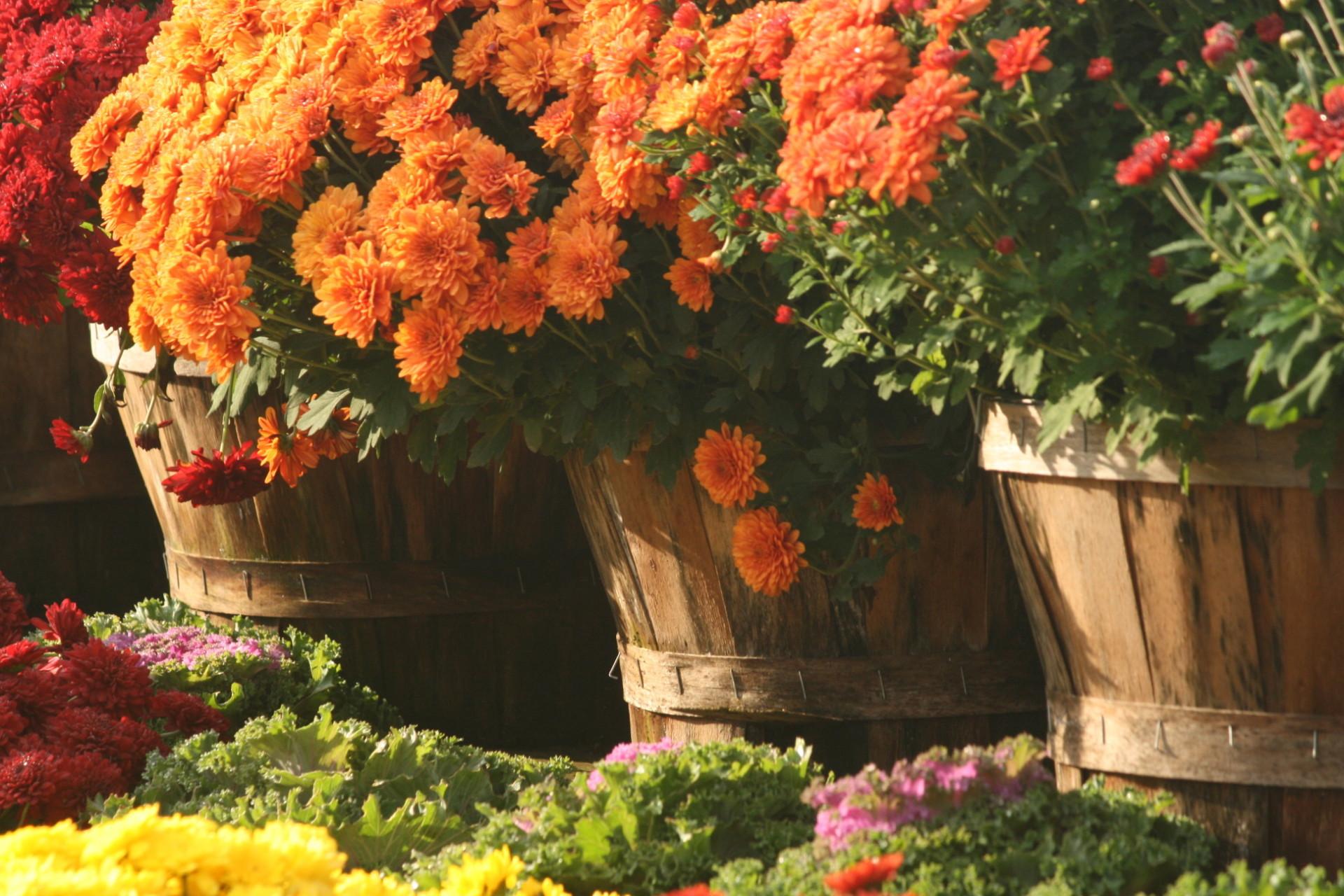 Fall-Mums-by-Cathy-Trainor-w1920.jpg