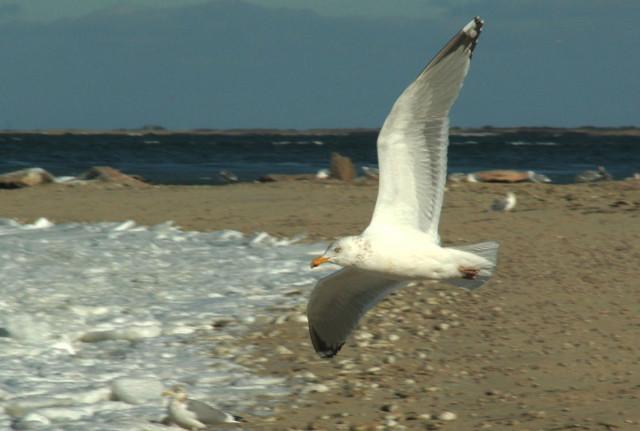 Gull-Over-Frozen-Jetties-Beach.jpg