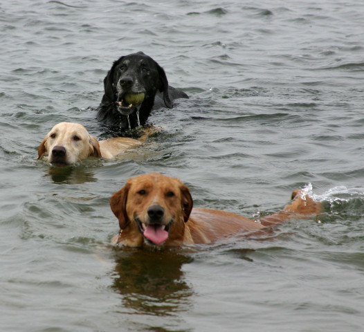 Retrievers-at-Monomoy.jpg