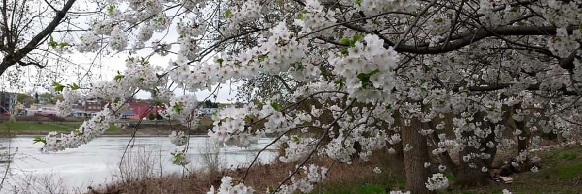 Cherry-Blossom-Festival.jpg