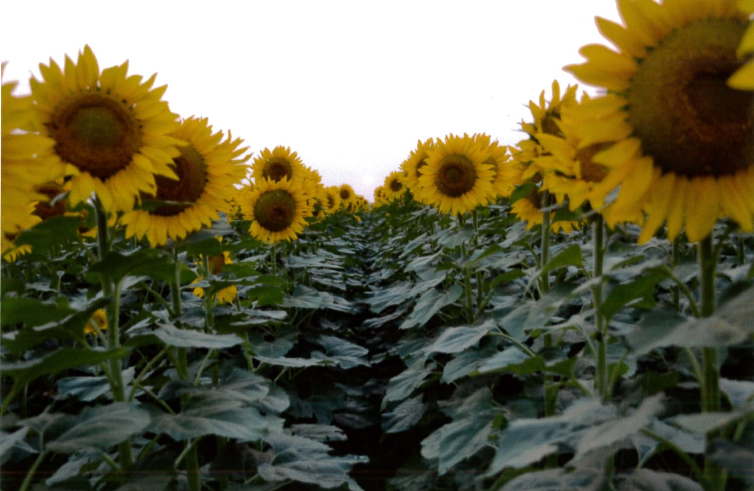 sunflower-field-rows.2-w3000-w1500.jpg