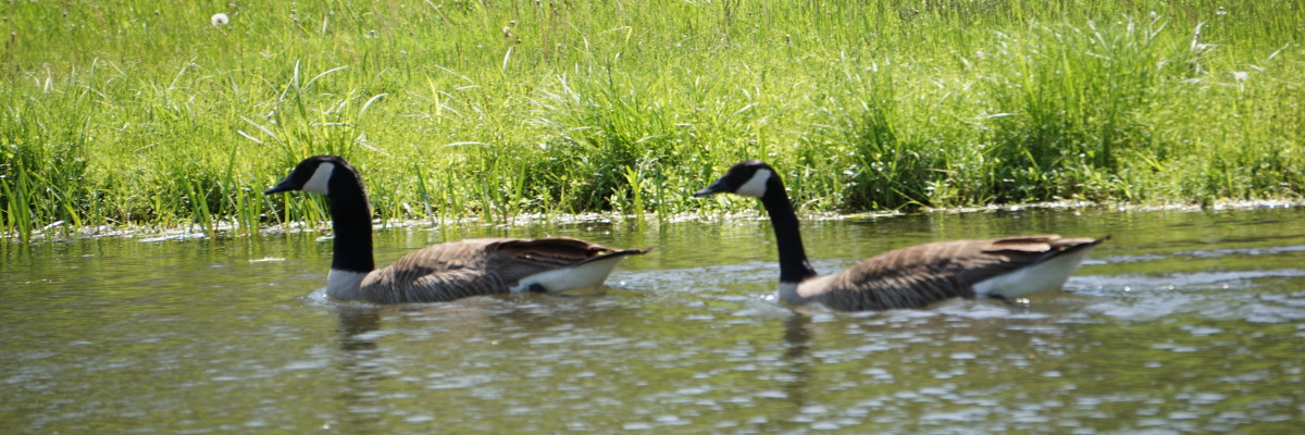 Ducks.JPG-w1200-x400.jpg