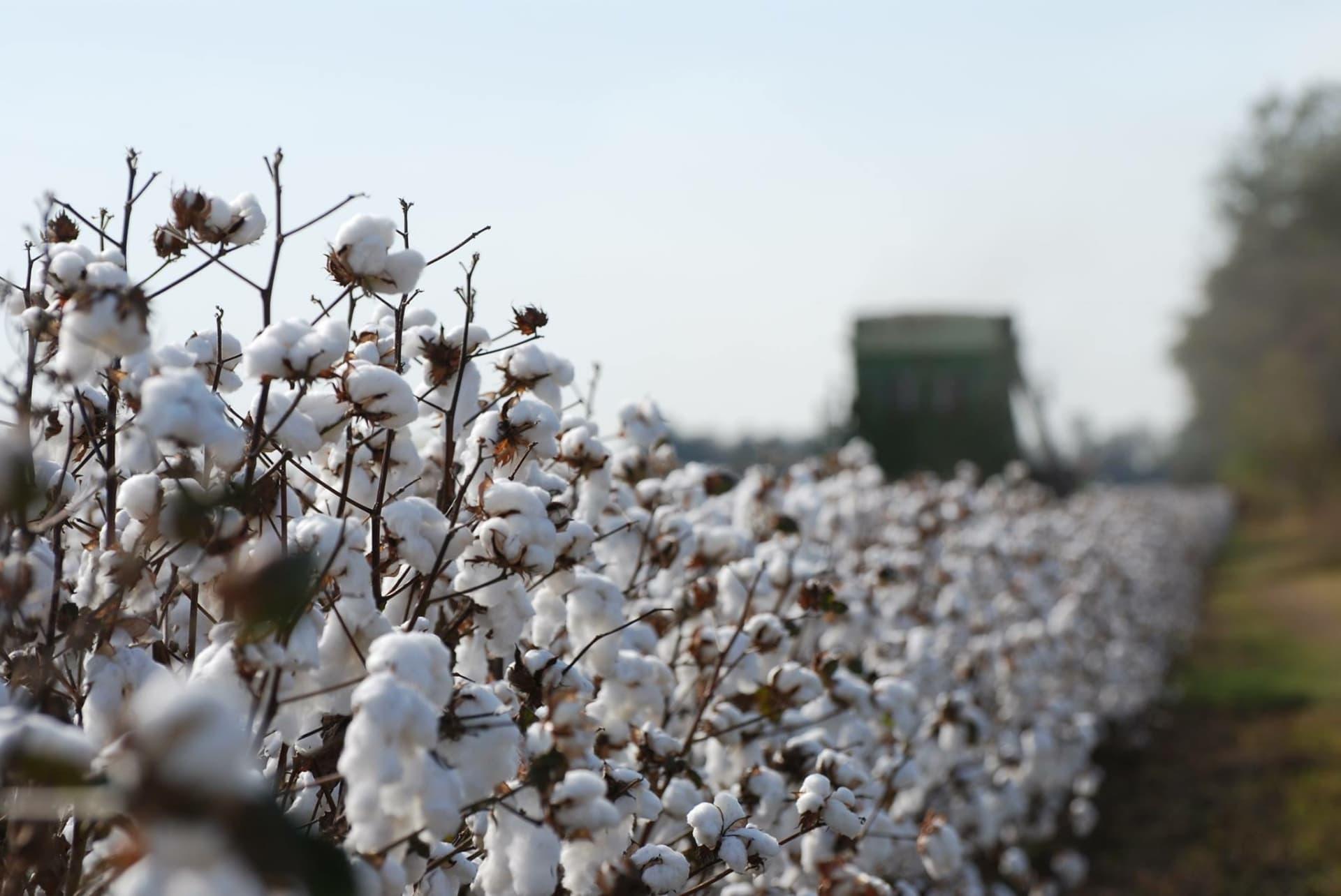 Cotton1.JPG-w1920.jpg