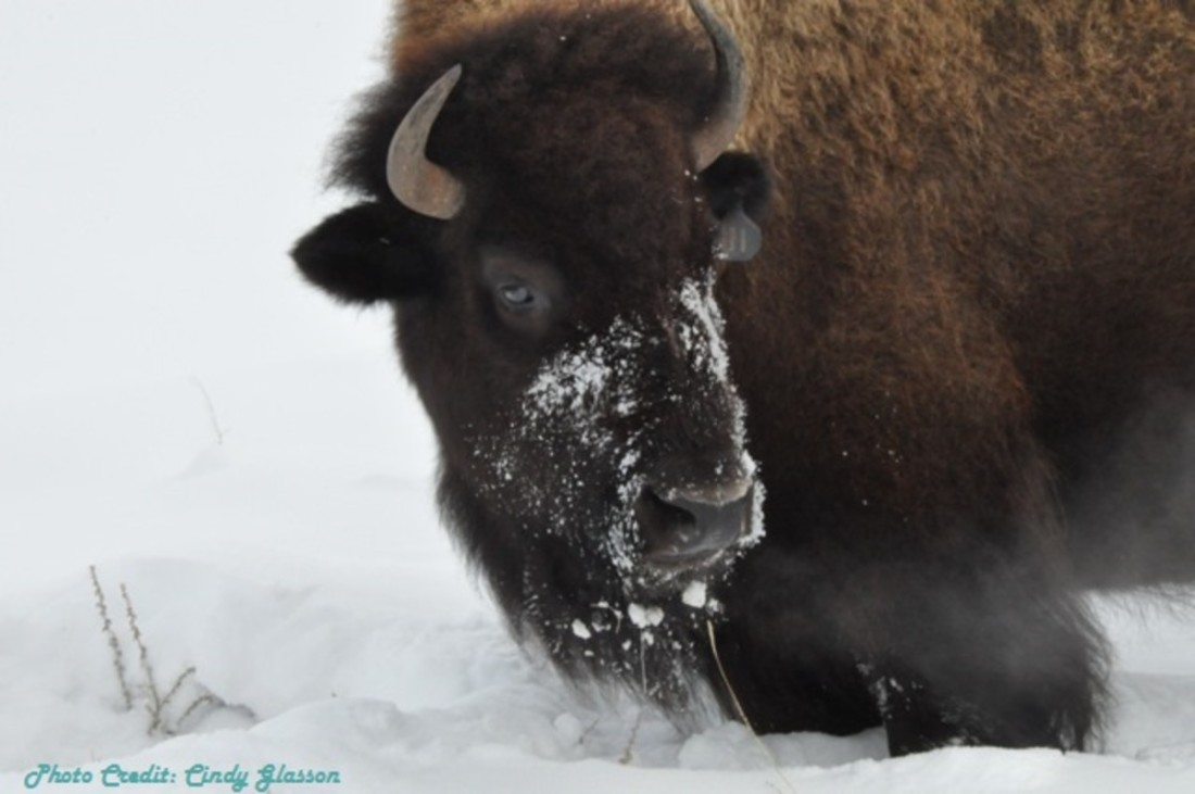 Bison-Winter-Pic-For-Chmabermaster(1)-w1200-w1100.jpg