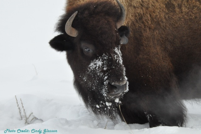 Bison-Winter-Pic-For-Chmabermaster.jpg