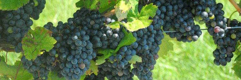 grapes-800.jpg