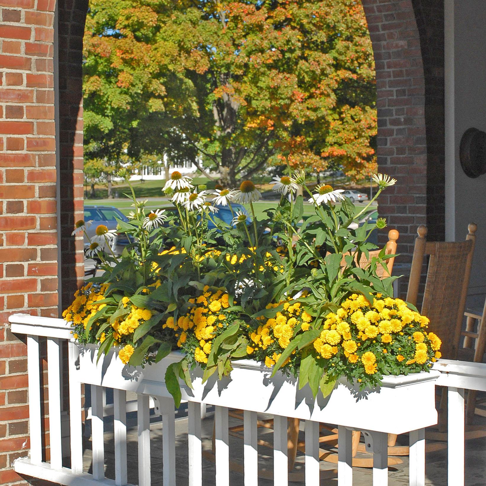 Fall Mums In Hanover NH