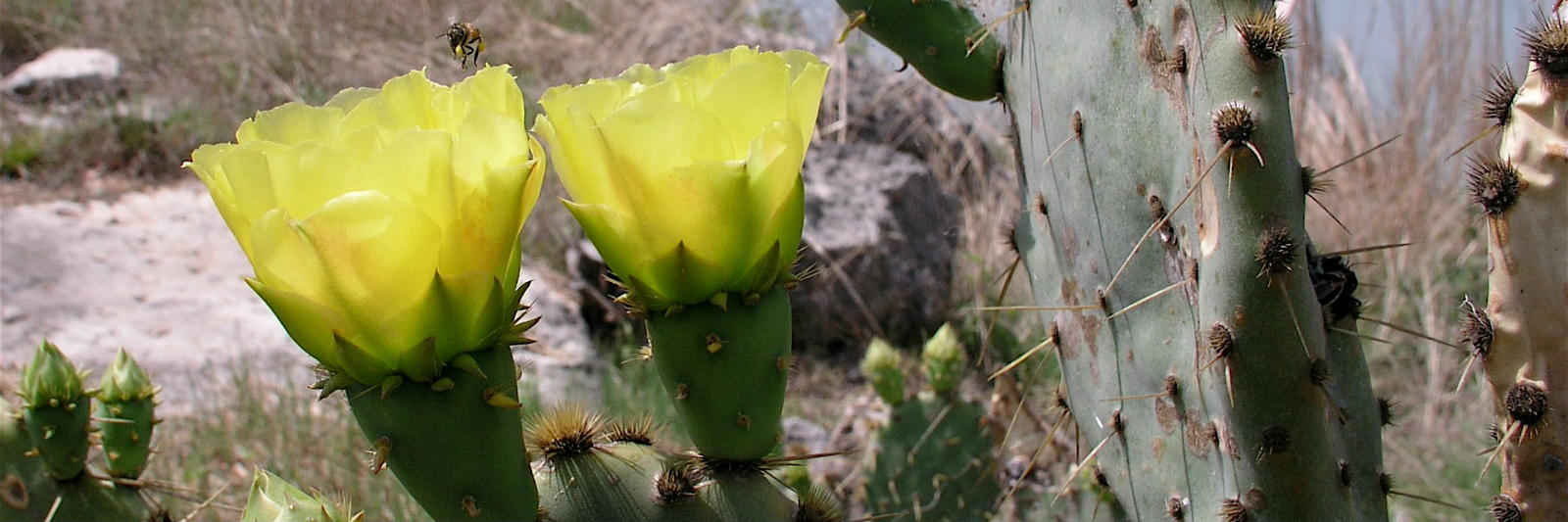Blooming-Cactus-Texas.jpg