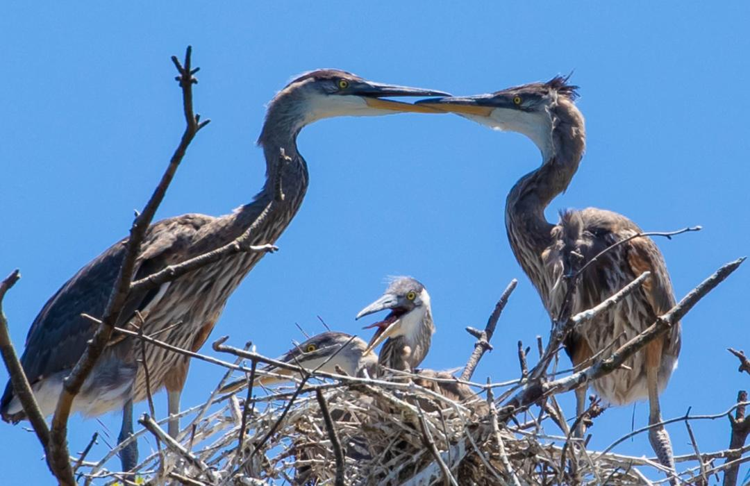 Herons-feeding-Lay-Lake-Steve-Smith.jpg