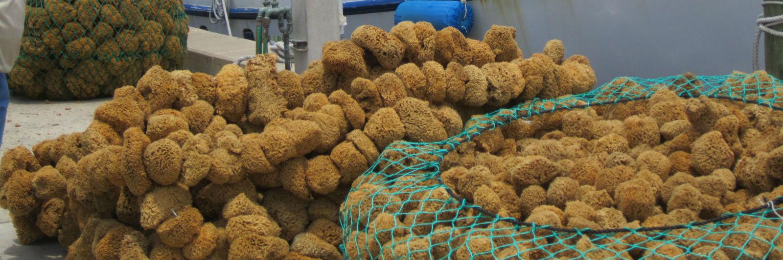 sponge-harvest2.jpg