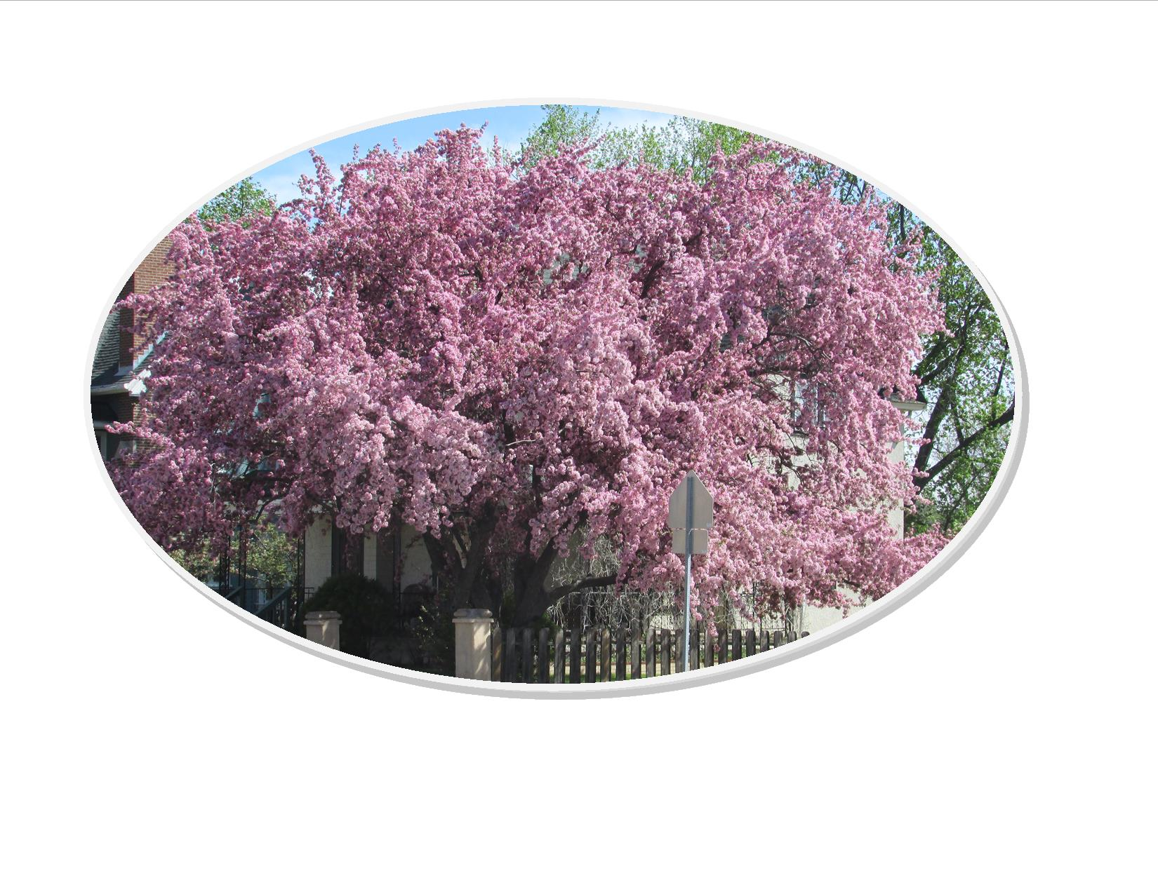 flowering-tree-spring-2016-oval---Copy.jpg