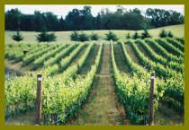 Vineyardsx200-with-border.jpg