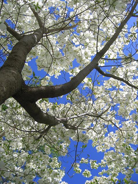 dogwoodtreefullbloom.jpg