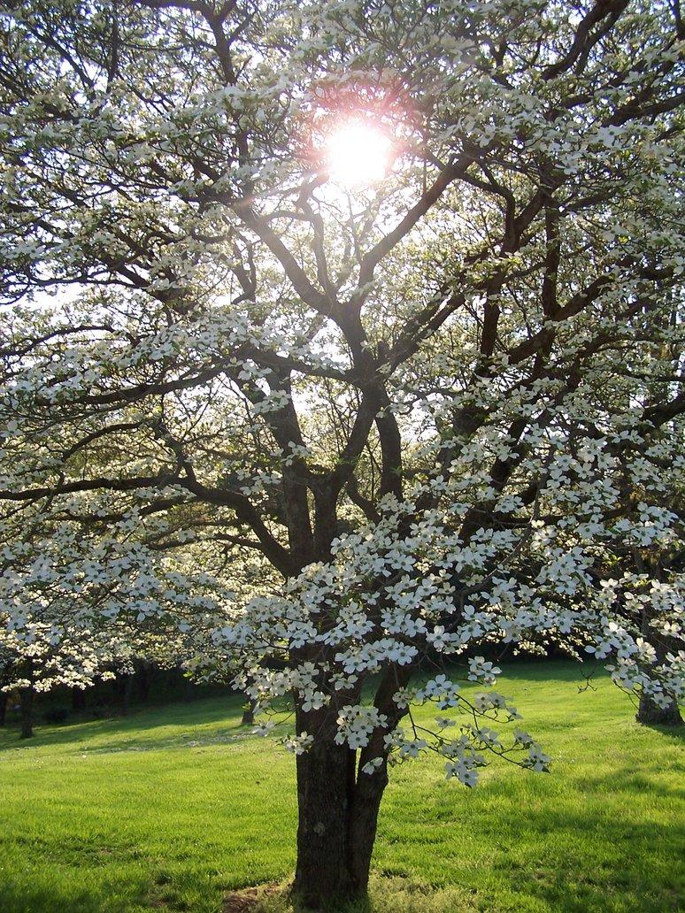 sunshine_thru_a_dogwood_tree_by_mseagtaann.jpg