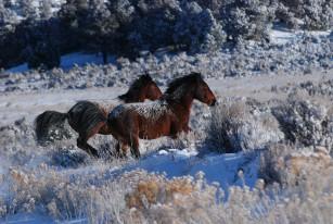 Wild-Horses-Snow.jpg