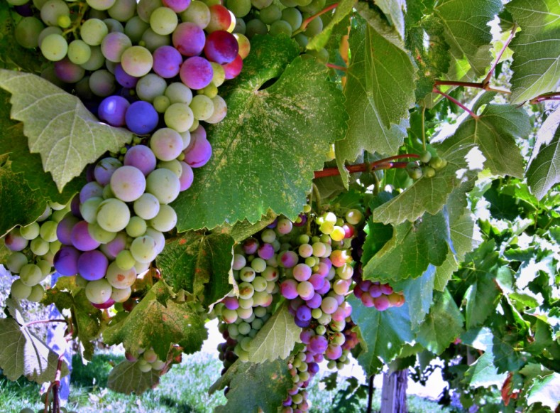 Grapes_Two_a-w789.jpg
