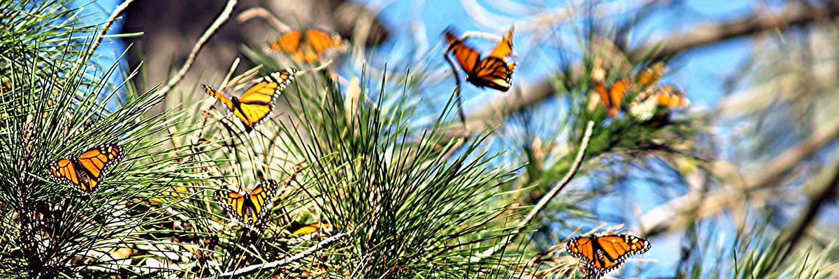 a-butterflies-flying-in-pines.jpg