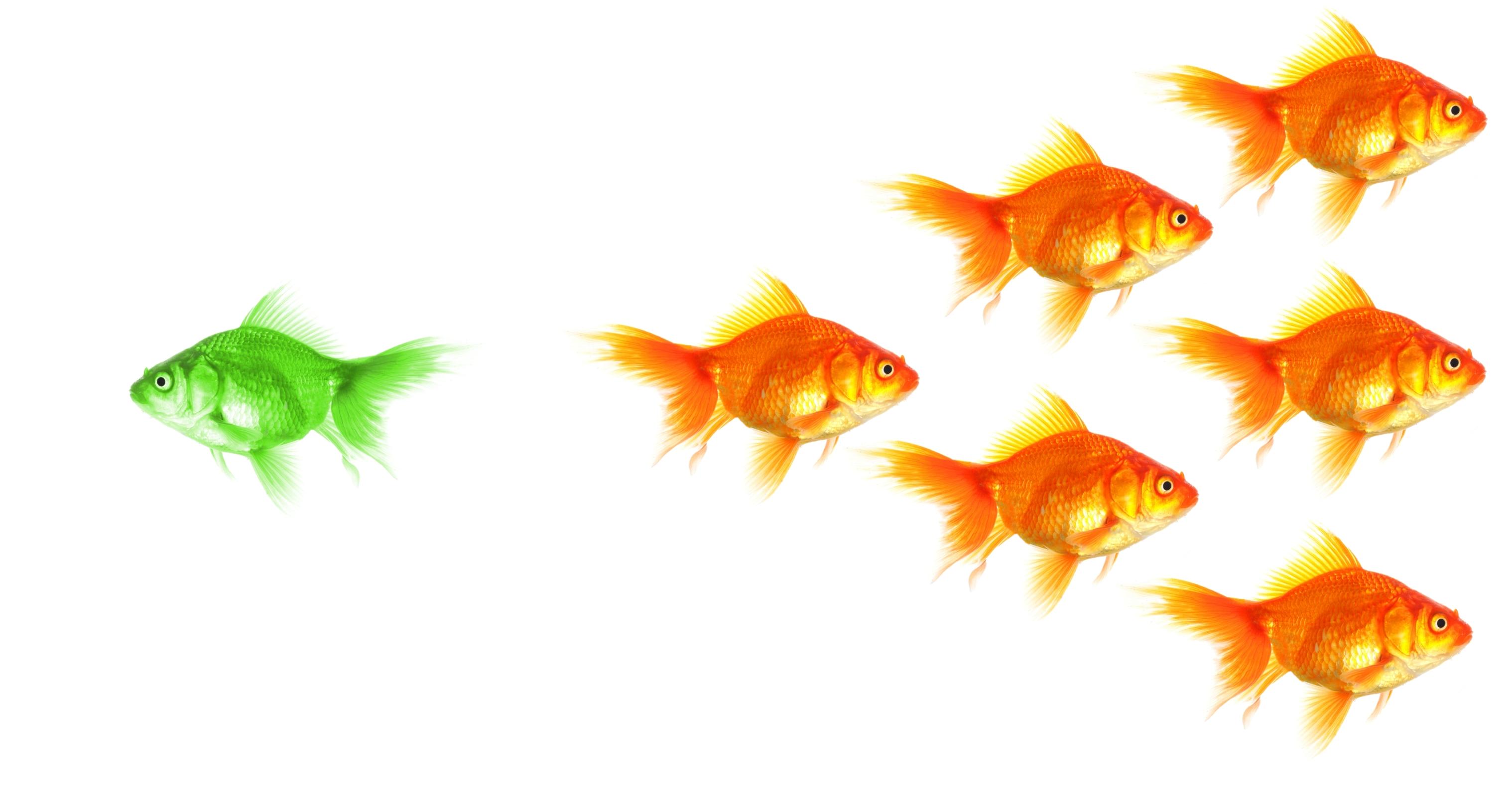 Mangold_Fish