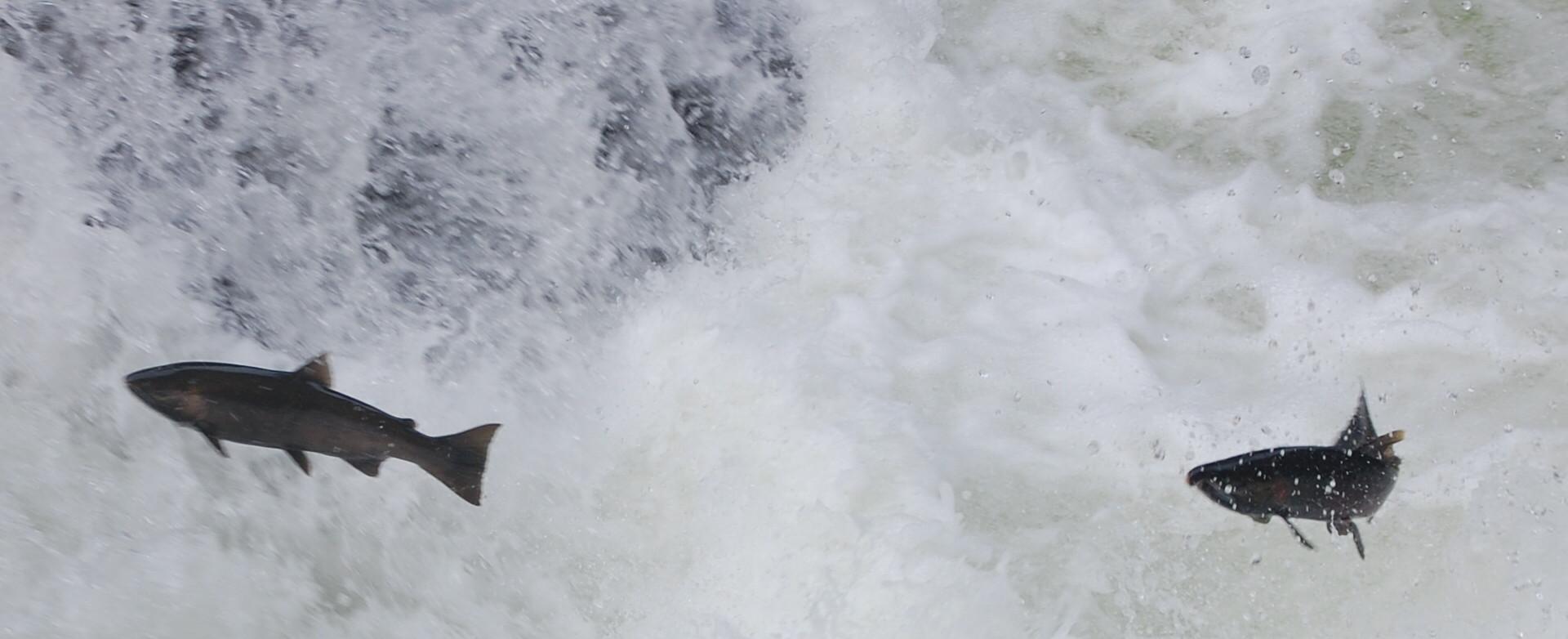 22_Salmon_Jumping1.jpg
