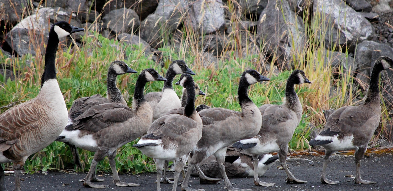7_Canadian_Geese1.jpg