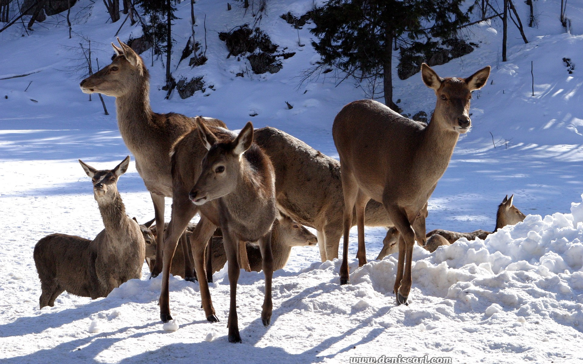 Deer-in-Snow_1920x1200.jpg