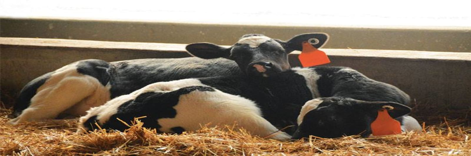 2-calves-sleeping-w1600.jpg